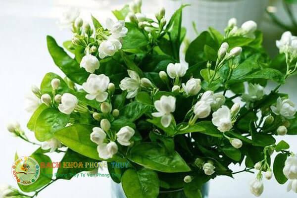 Trồng hoa nhài trước nhà có tốt không?