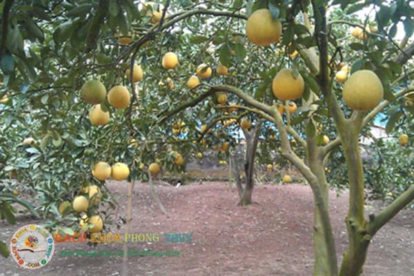 Cây Cam - Chanh - Bưởi 3 loại cây ăn quả nên trồng trước nhà