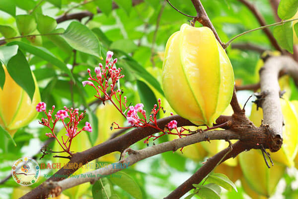 Cây Khế cũng là cây ăn quả nên trồng trước nhà