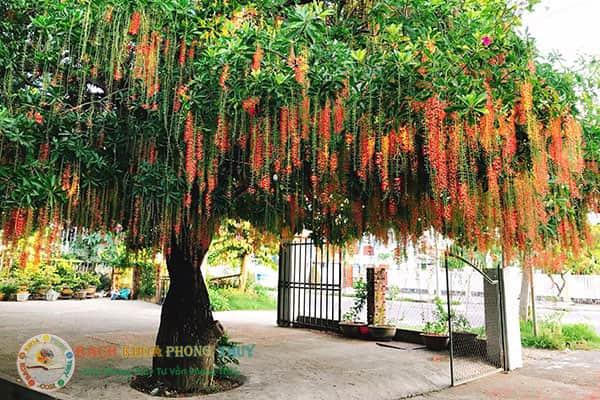 Cây Lộc Vừng cây bóng mát nên trồng trước nhà